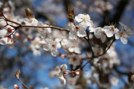 Pflaumenbaum blüht