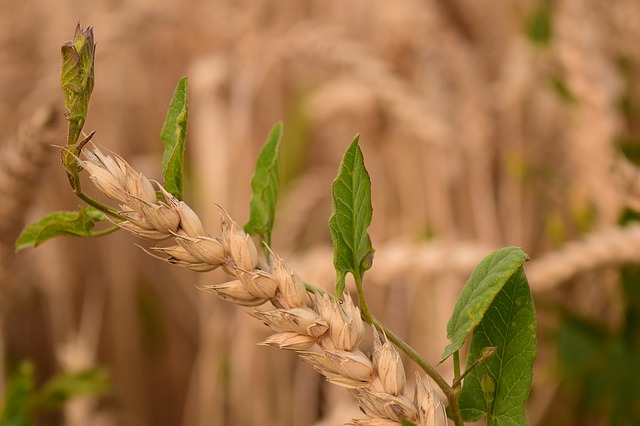 wheat-1526696_640