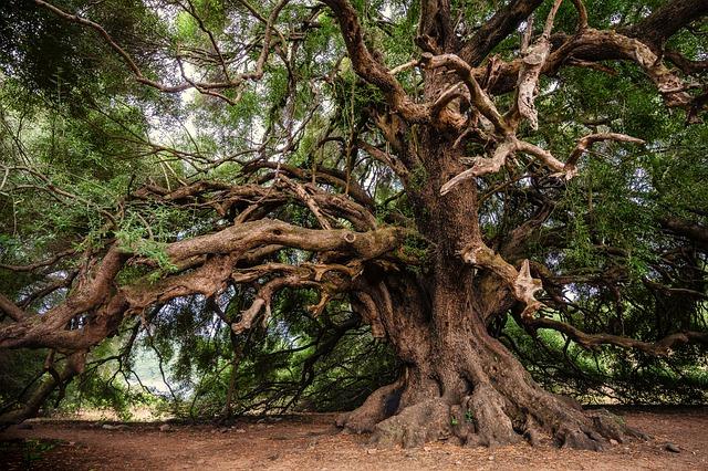 olive-tree-3579922_640