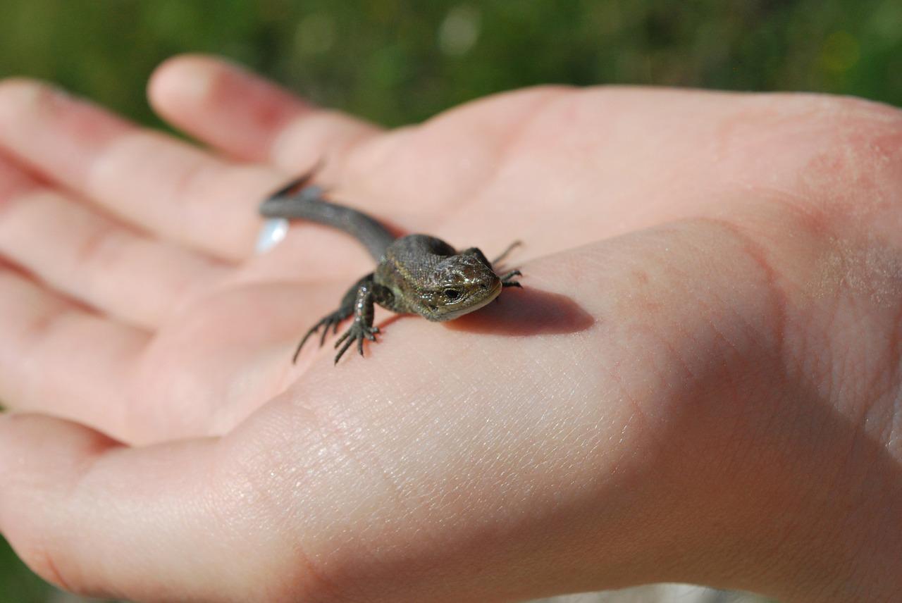 lizard-1384657_1280