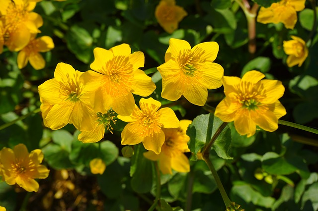 caltha-palustris-324465_640