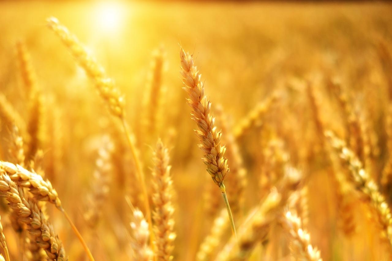 wheat-3506758_1280