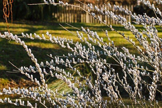 willow-catkin-4767812_640